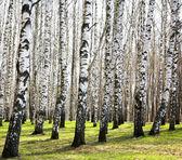 Ersten frühling grünen im sonnigen april-birkenhain — Stockfoto