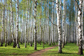 First spring greens in the evening birch grove — 图库照片