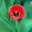 Red spring tulip with bud — Stock Photo #45766209