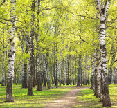 Evening sunny spring birch park with first greens — Stock Photo