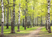 Evening sunny spring birch park with first greens in May — Stock Photo