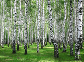 Summer birches — Stock Photo