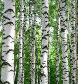 White birch trunks in summer sunny forest — Stock Photo