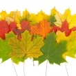 Stock Photo: Maple leaves on white background
