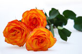 Orange rose isolated on white background  — Stock Photo