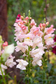 Snapdragon flower closeup — Stock Photo