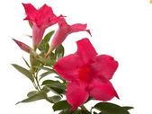 Mandevilla flowers — Stock Photo