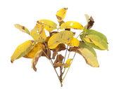 Gelbe blätter — Stockfoto