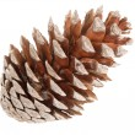 Cedar pine cone — Stock Photo