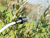 Spraying olive tree — Stock Photo