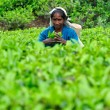 Woman from Sri Lanka gather tea leaves on tea plantation. — Стоковая фотография