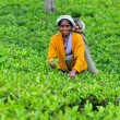 Woman from Sri Lanka gather tea leaves on tea plantation. — Stock fotografie