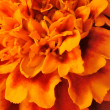 Stock Photo: Orange flower.