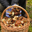 Basket full of mushrooms in forest. - Stock Photo