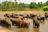 Herd of asian elephants. Pinnawela. Sri Lanka. — Stock Photo