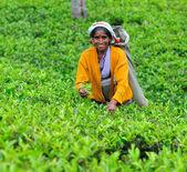 Mujer de sri lanka se reúnen las hojas de té en plantación de té. — Foto de Stock