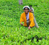 Woman from Sri Lanka gather tea leaves on tea plantation. — Stok fotoğraf