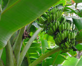 Bunch of ripening on tree. — Stock Photo