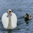 Swan on the lake. - Stock Photo