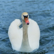 Swan on the lake. — Stock Photo