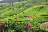 Tea plantations in Sri Lanka. Nuwara Eliya. — Stock Photo