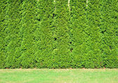 A row of tall of green thuja in the garden. — Stock Photo