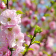 Pink flowers on tree. — Stock Photo #40501473