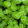 Clover — Stock Photo #16305837