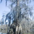 Stock Photo: Old Cypress Tree