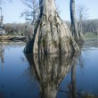 Cypress Swamp Reflections — Stock Photo