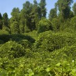 Kudzu Plant - Stock Photo