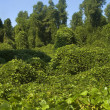 Stock Photo: Kudzu Plant