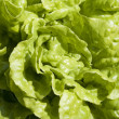 Lettuce background texture — Stock Photo