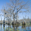Stock Photo: Cypress Swamp