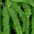 Maidenhair Fern — Stock Photo