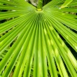 Palm Frond — Stock Photo #16307973