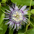 Stock Photo: Passion Flower