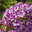 Phlox flower cluster — Stock Photo