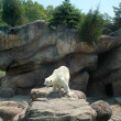 Polar Bear — Stock Photo #16308119