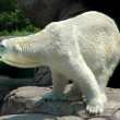 Polar Bear — Foto Stock #16308125