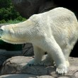 Polar Bear — Stockfoto #16308125