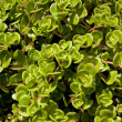 Purslane background texture - Stock Photo