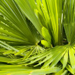 Stock Photo: Palm background