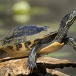 Turtle closeup — Stock Photo