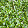 Water Hyacinth — Stock Photo #16309107