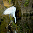 Great White Egret — Stock Photo #16309127