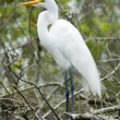 Great White Egret — Stock Photo #16309145