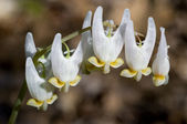 Dutchman's Breeches — 图库照片