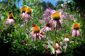 Echinacea Coneflower — Stock Photo