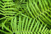 Vibrant Fern Background — Stock Photo